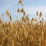 oat field celiac disease gluten-free oats