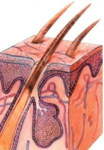 Hair Follicles.
