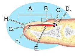 Nail Anatomy. A. Nail plate; B. lunula; C. root; D. sinus; E. matrix; F. nail bed; G. hyponychium; H. free margin. Courtesy Wikipedia.org