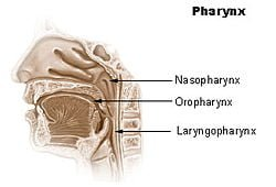 Areas of the Pharynx Where Cancer May Occur. Courtesy Wikimedia.