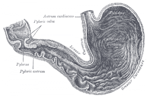 Reproduction of a lithograph plate showing inside of the stomach from Gray's Anatomy. Courtesy Wikipedia Commons.