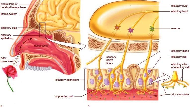 Taste System Anatomy