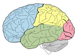 Drawing shows the 4 lobes of the human brain on the left side. The occipital lobe is pink. Courtesy Wikimedia