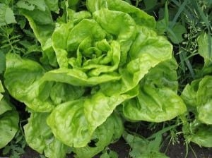 Lovely Lettuce Briming With Folates.